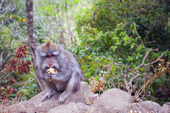 Monkey with a meal. Image of monkey with a meal who has eyes which shows that she knows how to ask for something to eat. Bali, Indonesia Stock Images