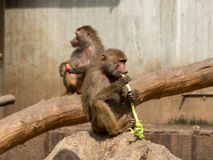 Monkey. On mealtime. Madrid Zoo. Common name: Papión Scientific name: Papio cynocephalus Category: Mammals Continents: Africa Habitat: Savannah Feeding royalty free stock photography