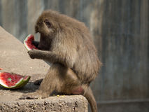 Monkey. On mealtime. Madrid Zoo. Common name: Papión Scientific name: Papio cynocephalus Category: Mammals Continents: Africa Habitat: Savannah Feeding stock photos