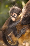 Monkey in Mexico. Baby monkey in Mexico clinging to his mothers back Stock Image