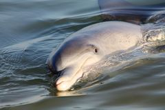 Monkey Mia Dolphin. Picture of a monkey mia dolphin stock images