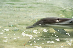 Monkey mia dolphins near the shore. Wild dolphins near the shore in Australia Monkey Mia beach royalty free stock photo