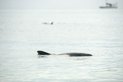 Monkey mia dolphins near the shore. Wild dolphins near the shore in Australia Monkey Mia beach stock image