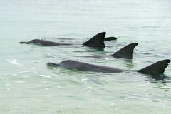 Monkey mia dolphins near the shore Royalty Free Stock Photo