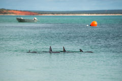 Monkey mia dolphins near the shore. Wild dolphins near the shore in Australia Monkey Mia beach stock image