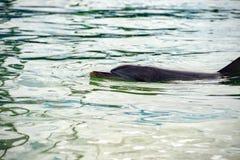 Monkey mia dolphins near the shore. Wild dolphins near the shore in Australia Monkey Mia beach royalty free stock photos