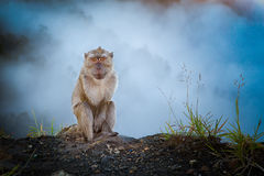Monkey in the mist. Monkey sitting in the mist at kelimutu volcano, flores, indonesia Royalty Free Stock Photos