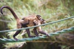 Monkey mit ihrem ââyoung, das von einem Seil hängt Lizenzfreie Stockfotos