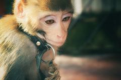 Monkey mod?le photos libres de droits