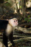 Monkey model Stock Photography