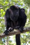 Monkey Mom. Female howler monkey with child at community baboon nature preserve in Belize Royalty Free Stock Photography