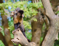 Monkey mom. A monkey mom carrying her son through some tree branches Stock Photography