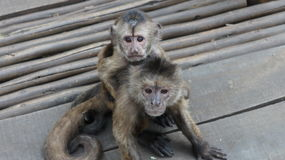 Monkey mom with baby on back. Monkey mom with a cute cub on her back, wild animals of Africa Stock Photo