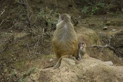 Monkey Mom and baby. On the stone royalty free stock images