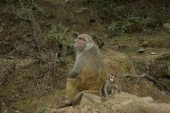 Monkey mom and baby sit on a rock royalty free stock images