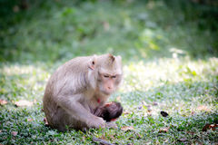Monkey mom Stock Images