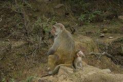 Monkey Mom and Child sitting back to back stock image