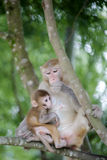 Monkey mom cuddle her child Royalty Free Stock Images