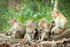Monkey mom. Group Monkey Mom join to Breastfeeding together Stock Images