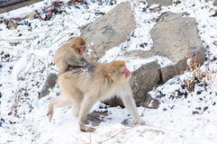 Monkey mom and her baby - Stock Image. Relaxing Monkey in a natural onsen (hot spring), located in Snow Monkey, Nagono Japan Royalty Free Stock Photo