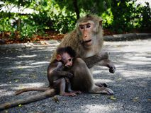 Monkey. Mom and kid monkey seek food on the ground in thai temple Royalty Free Stock Photo