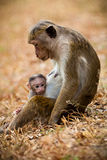 Monkey mom with son puppy. Bonnet macaque monkeys. Mother with young children. Bonnet macaque monkeys. Location: Sri Lanka Stock Photo