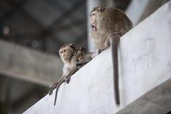 Monkey mom Stock Photography