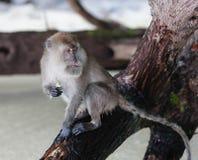 Monkey on Monkey Beach Phi Phi. Royalty Free Stock Image