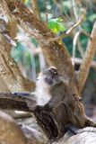 Monkey on Monkey Beach Phi Phi Royalty Free Stock Photo