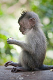 Monkey in monkey forest, Indonesia Royalty Free Stock Images