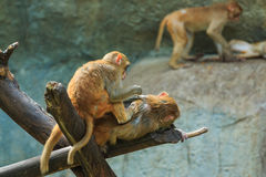 Monkey,monkey in zoo, Long-tailed macaque, Crab-eating macaque. Stock Images