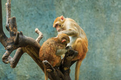 Monkey,monkey in zoo, Long-tailed macaque, Crab-eating macaque. Royalty Free Stock Photo