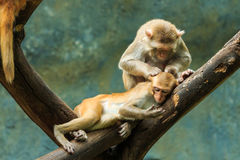 Monkey,monkey in zoo, Long-tailed macaque, Crab-eating macaque. Stock Photos