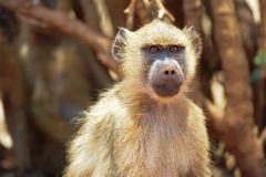 Monkey. On a tree in search of fruits royalty free stock photo