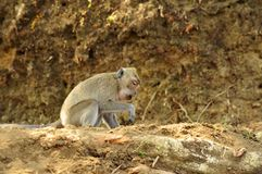 The monkey. Monkeys living in the wild will be healthier Royalty Free Stock Image