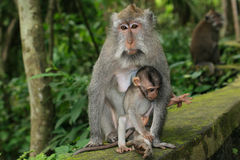 Monkey mother. With her child Royalty Free Stock Photography