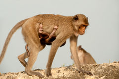 Monkey Mother And Son. Royalty Free Stock Photos
