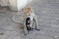 Monkey. Mother monkey asleep while breastfeeding Royalty Free Stock Photos