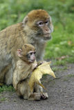 Monkey mother with Baby. A monkey baby sitting close to its mother Royalty Free Stock Photography