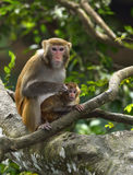 The monkey mother and baby. Are sitting in the tree, looking at somethings Stock Photo