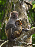 The monkey mother and baby. The monkey mother is nursing the little monkey Stock Image