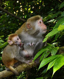 The monkey mother and baby. Are sitting in the tree, looking at somethings Royalty Free Stock Photo