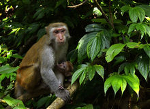 The monkey mother and baby. Are sitting in the tree, looking at somethings Stock Images