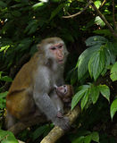 The monkey mother and baby. The monkey mother is nursing the little monkey Royalty Free Stock Photos