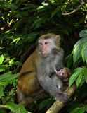 The monkey mother and baby. The monkey mother is nursing the little monkey Stock Photo