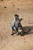 Monkey. Mother monkey and baby monkey Stock Image