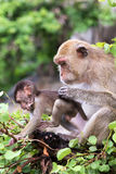 Monkey, mother with baby Royalty Free Stock Images