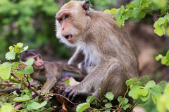 Monkey, mother with baby Stock Images