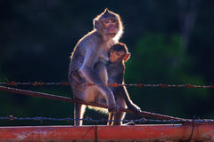 Monkey mother and baby drinking milk from breast and playing nip Stock Image
