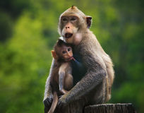 Monkey mother and baby drinking milk from breast and playing nipple Stock Photography
